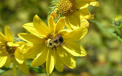 The Buzz On Bees: How To Help Minnesota's Busy Pollinators Recover