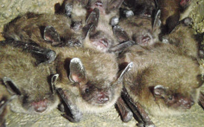 Fewer Bats Means More Bugs: Why Bats Are More Friend Than Foe