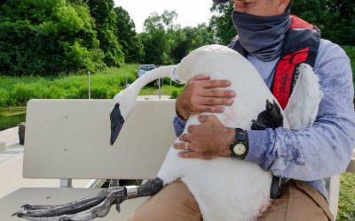 Trumpeting Success, Swans Make Comeback