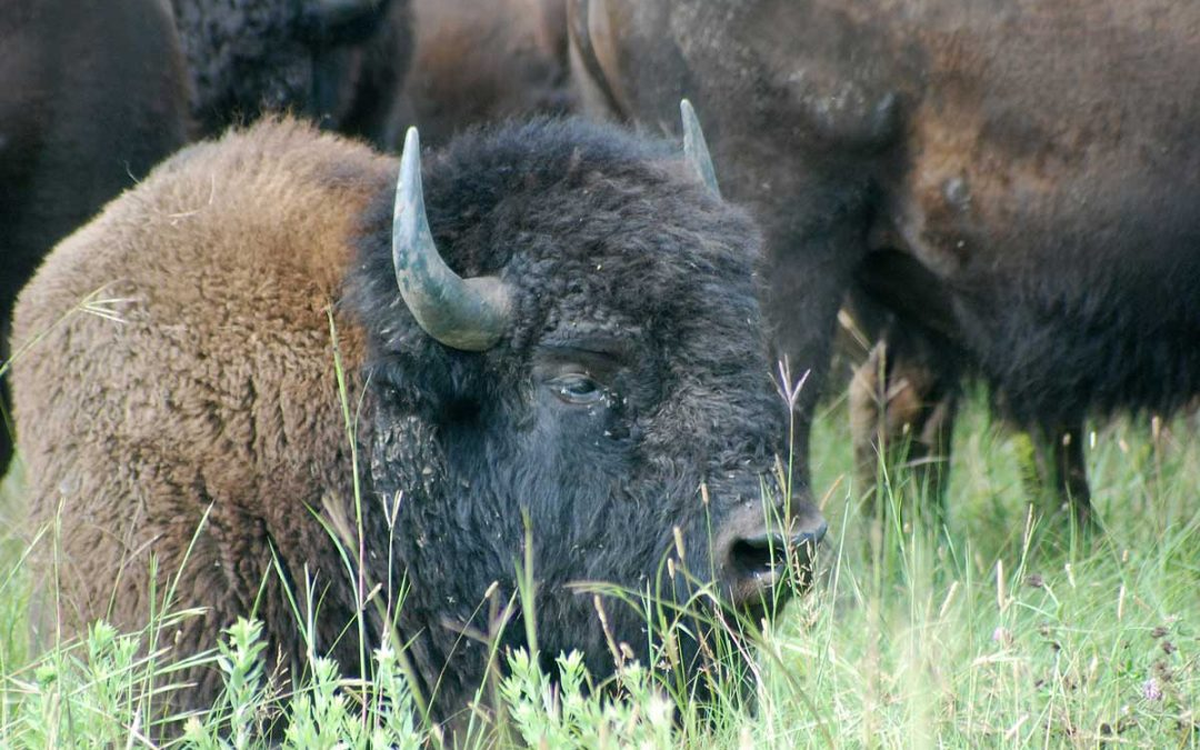 Minnesota Bison Conservation Herd Helps Preserve Natural Legacy